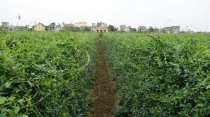Gymnema field in Nam Dinh Province